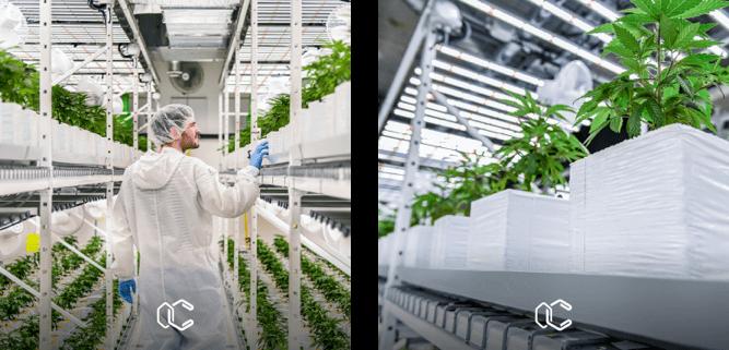 Severin Amweg und sein Grower Team kontrollieren das Pflanzenwachstum im Alpha Raum